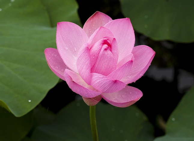 Get Natural Beauty With This Lotus Flower Face Pack Serey