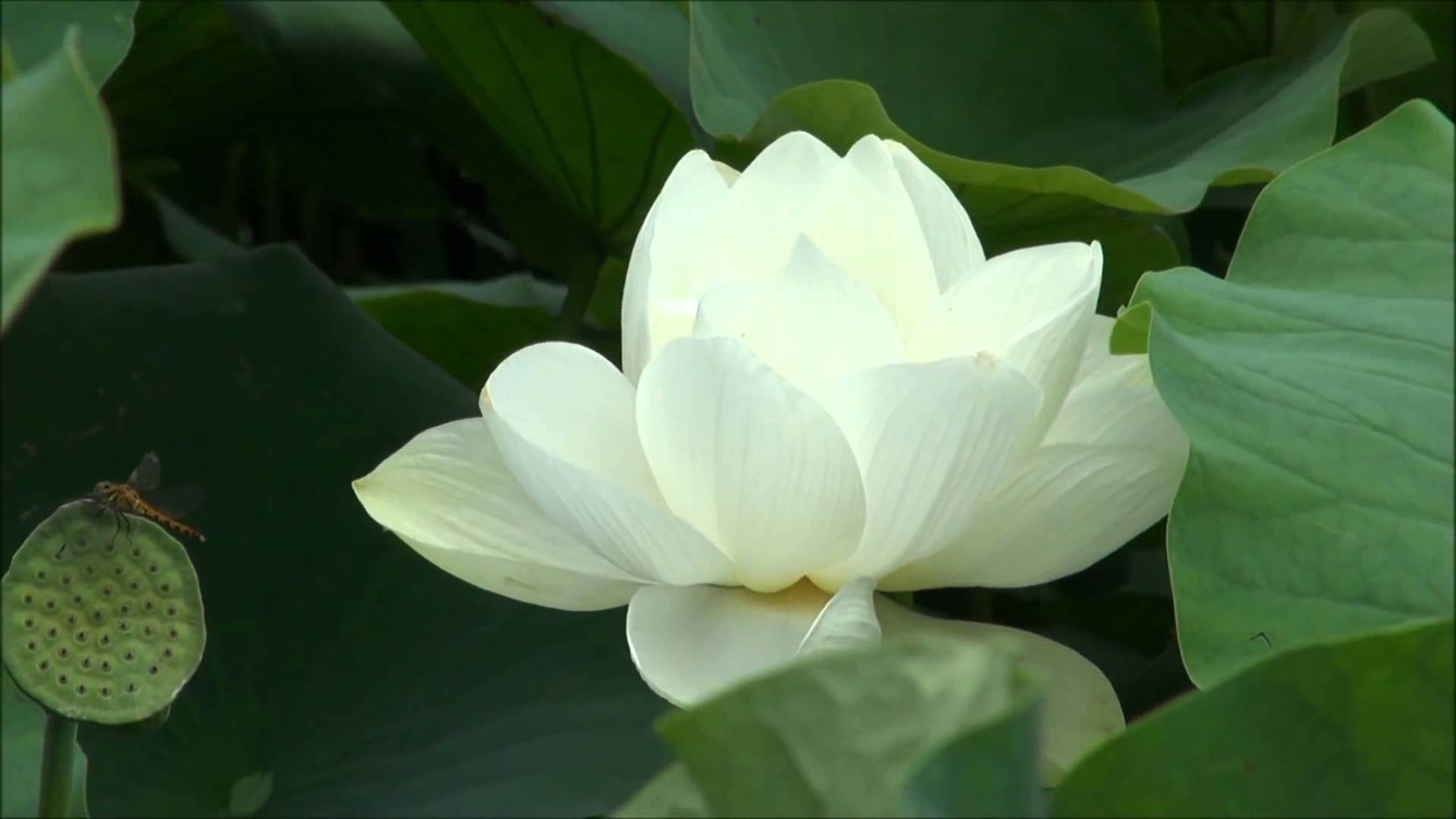 The Meaning Of Pka Chouk Lotus Serey